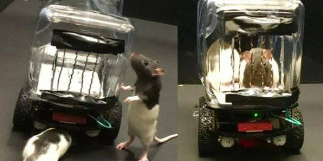 Scientists have taught rats to drive