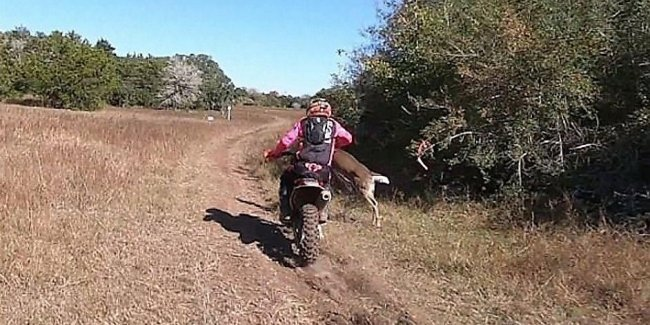 In the US the motorcyclist was hit by a deer