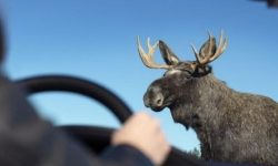 """How Tesla Model S coped with a real """"moose test"""" (video)"""