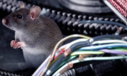 Unexpected problem with Tesla: rats devour the wiring of cars