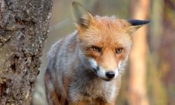 British drivers complain about foxes gnawing at car brake hoses